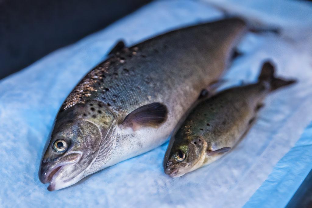 AquAdvantage Fish