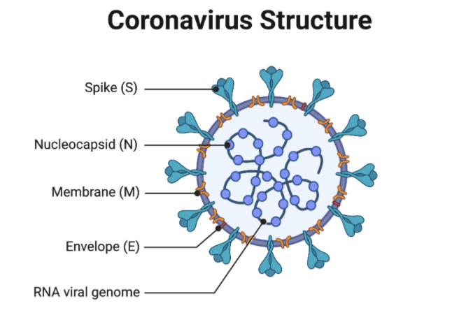 This image has an empty alt attribute; its file name is coronavirus-structure.png
